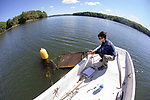 Colin Eimers Retrieving Tray To Measure Oysters, Sasanoa River