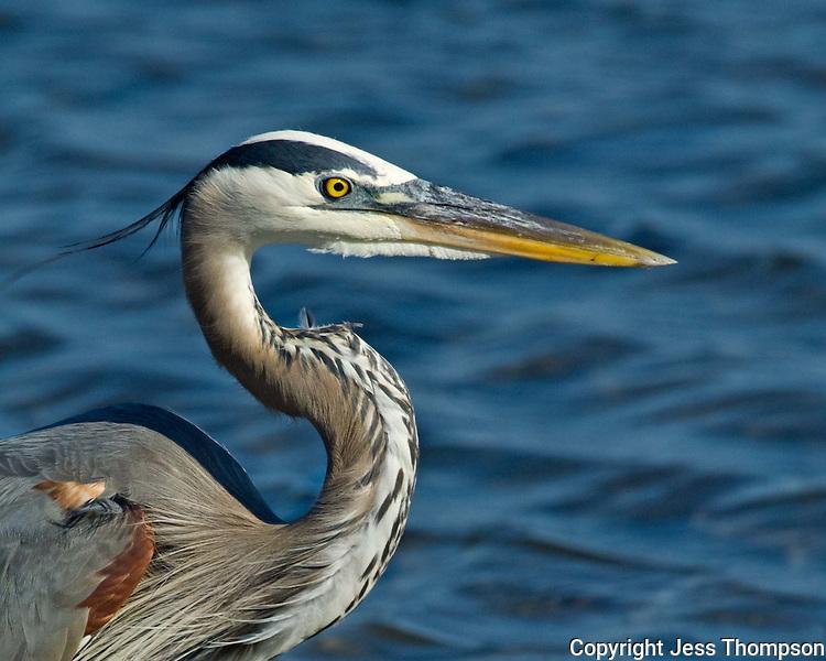 Great Blue Heron, South Padre Island, Texas