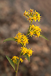 Goldenrod blooms among the granite ledges in late summer in Acadia National Park, Maine, USA