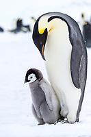 Snow Hill Island, Antarctica. Emperor penguin parent and chick.