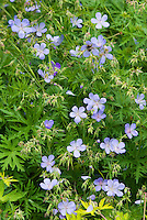 Geranium Blue Cloud in flowers