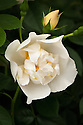 Rosa 'City of York', late May. A modern, creamy white Wichurana rambling rose introduced by Matthias Tantau in Germany in 1945 under its original name Rosa 'Direktor Benschop'.