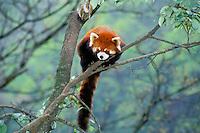 Red Panda (Aiulurus fulgens), China.