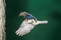 Eastern Bluebird, Sialia sialis, male in flight, Willacy County, Rio Grande Valley, Texas, USA