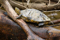 Tropical Slider (Tortuga Resbaladora), Trachemys ornata (Chrysemys ornata), on the Suerte River (Rio La Suerte), Limon Province, Costa Rica. Scars on the carapace show where it may have been bitten by a caiman or other predator.