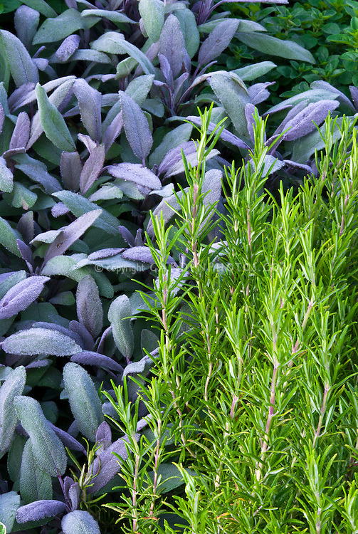 Salvia officinalis purple culinary sage with Rosmarinus rosemary, mixture of herbs  in garden closeup of foliage
