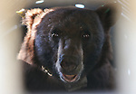 """Seen through the grate on a trap, an 8-year-old female black bear awaits release west of Carson City, Nev., on Sunday, May 25, 2014. State biology officials say she was """"intercepted early in the cycle of conflict behavior"""" and subjected to aversion training. <br /> Photo by Cathleen Allison"""