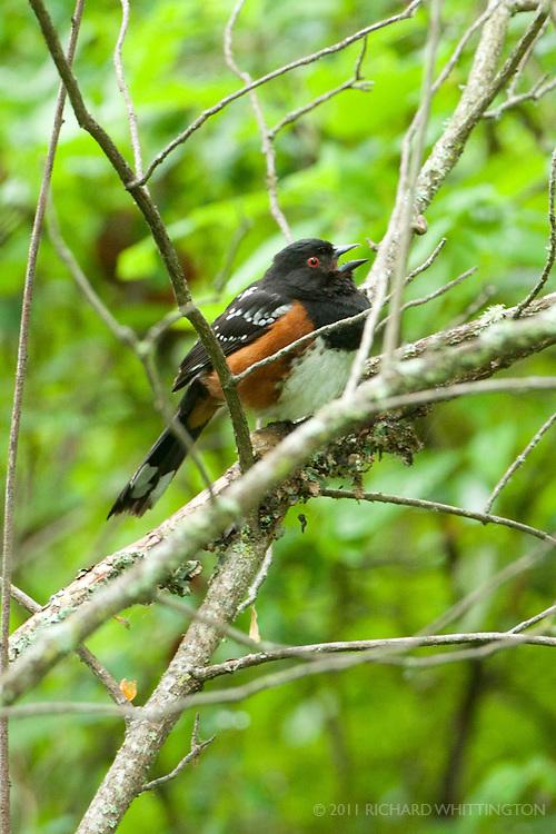 Spotted Towhee, Dungeness River Audubon Center, Olympic Peninsula, Washington.