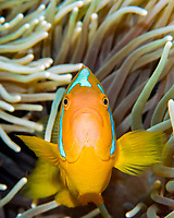 white bonnet anemonefish, Amphiprion leucokranos, Solomon Islands, Indo-Pacific Ocean
