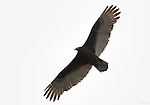 Turkey Vulture, Cathartes aura, Bolsa Chica Wildlife Refuge, Southern California