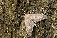 Zünsler, Anania lancealis, Perinephela lancealis, Long-winged Pearl, crambid, Crambidae, Zünsler, Rüsselzünsler, Crambids