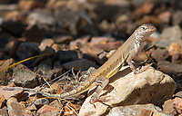 Common Zebra-tailed Lizard, Callisaurus draconoides draconoides, at the Arizona-Sonora Desert Museum, near Tucson, Arizona