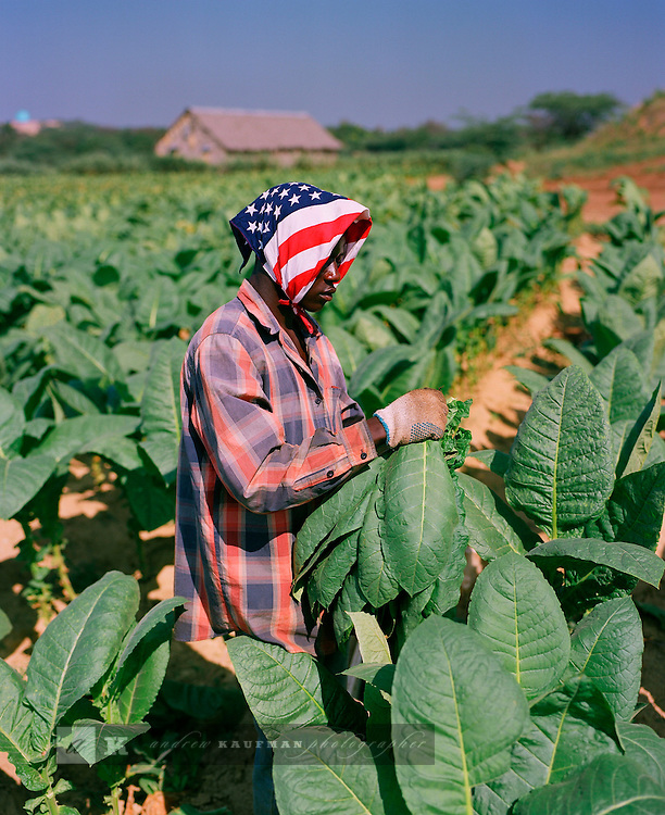 General Cigar is the worlds largest manufacturer of hand rolled cigars. Their base of operations is in Santiago, Dominican Republic. They have farms with sun grown tobacco where campesinos farm the tobacco. They also have a very large factory in the Zona Franca in Santiago.