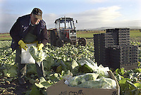 John Rimmer cutting Miatts Offenham spring cabbage at The Strine farm, Sollom, south west Lancashire. The two and a half acre crop will be sold to local markets.