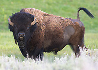 Remember, if a bison's tail is raised, it either wants to charge... or discharge.