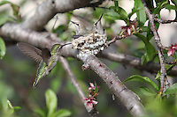 February 23 2010.  San Diego, California, USA:  A humming bird approaches a nest containing two chicks in a backyard in Pacific Beach.  While much of the rest of the US struggled through blizzard conditions, early signs of spring were visible in Southern California.