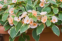 Impatiens 'Fusion Peach Frost' variegated
