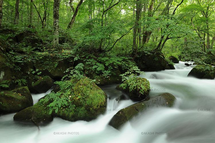 Oirase Gorge with green momiji, Japanese maple.<br /> <br /> Oirase Gorge avec momiji vert, érable japonais.