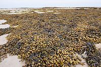 Spiraltang, Schraubentang, Drehtang, Spiral-Tang, Schrauben-Tang, Dreh-Tang, Fucus spiralis, spiral wrack, flat wrack, Jelly bags, Spiraled Wrack, Ebbe, Gezeiten, Niedrigwasser, Tide, Tiden, Tidenhub, Strand, Meer, Watt, Küste, Meeresküste, low tide, tide, tides, tidal range