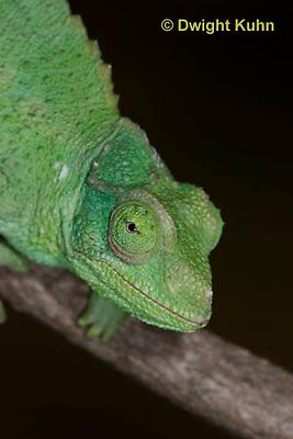 CH35-503z  Female Jackson's Chameleon or Three-horned Chameleon, close-up of face and eyes, Chamaeleo jacksonii