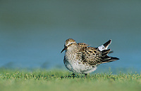 White-rumped Sandpiper, Calidris fuscicollis,adult, Welder Wildlife Refuge, Sinton, Texas, USA