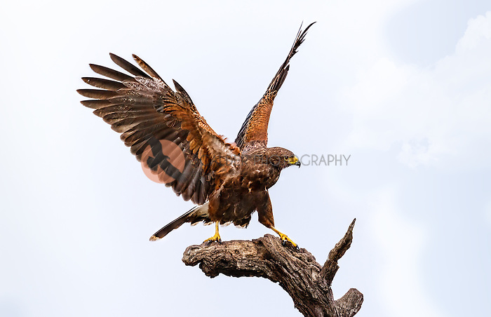 Harris's Hawk perched on dead tree with aggresive stance, wings up