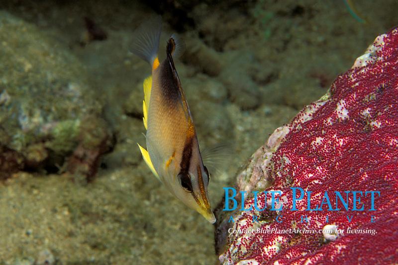 Prognathodes aculeatus (formerly Chaetodon aculeatus), longsnout butterflyfish or Poey's butterflyfish, feeding on eggs of sergeant major Commonwealth of Dominica (Eastern Caribbean Sea), Atlantic