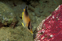 Prognathodes aculeatus (formerly Chaetodon aculeatus), longsnout butterflyfish or Poey's butterflyfish, feeding on eggs of sergeant major Commonwealth of Dominica (Eastern Caribbean Sea), Atlantic