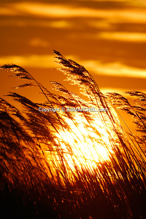 01090-049.12 Sunset (DIGITAL) with phragmites silouetted in foreground.  V7E1