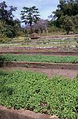 "Altamira, Amazon, Brazil. Medicinal plant ""Vic"" (Mentha avensis) (Mint family) growing in the Farmacia Verde garden."
