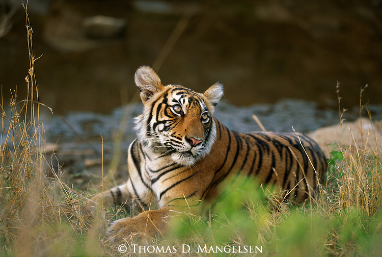 An adolescent bengal tiger looks up as he lays by a river's edge in Ranthambore National Park, Rajastan, India.