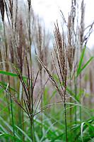 Miscanthus Sinensis (Seedlings)
