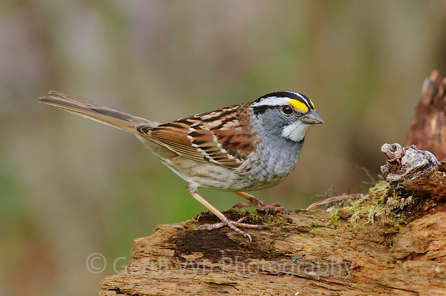 Adult white-striped morph White-throated Sparrow in breeding plumage. Tompkins County, New York. April. (Zonotrichia albicollis) in breeding plumage. Tompkins County, New York. April.