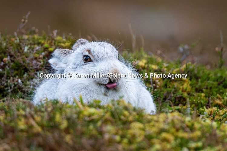 "Pictured:   A mountain hare pulled some hare-larious faces at a photographer in the Scottish Highlands, making for some brilliant pictures.<br /> <br /> Photographer Karen Miller, 49, was walking through the Cairngorms when she spotted this very confident hare, which started pulling funny faces at her camera.<br /> <br /> She said: ""It looked like it was waving, or doing a high-five.  SEE OUR COPY FOR FULL DETAILS.<br /> <br /> Please byline: Karen Miller /Solent News<br /> <br /> © Karen Miller /Solent News & Photo Agency<br /> UK +44 (0) 2380 458800"