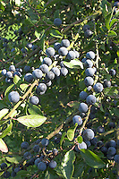 Gewöhnliche Schlehe, Schwarzdorn, Früchte, Prunus spinosa, Blackthorn, Sloe, Epine noire, Prunellier