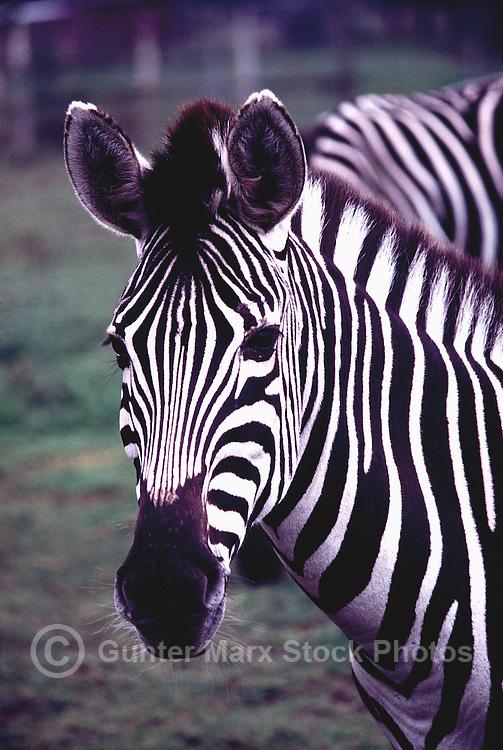 Plains Zebras (Equus quagga, formerly Equus burchelli) aka Common Zebra or Burchell's Zebra - Portrait