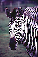 Plains Zebras (Equus quagga, formerly Equus burchelli) aka Common Zebra or Burchell's Zebra - Portrait