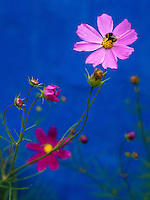 Pink Cosmos flowers stood in a bright contrast to the vivid blue wall on a building in Sibiu, Romania.  Taken at the Astra Outdoor Museum Complex near Sibiu, Romania.