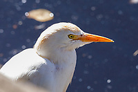 Snowy egret, at Tenikwa Wildlife Rehabilitation Centre, Plettenberg Bay, South Africa.