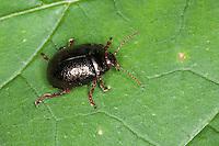 Blattkäfer, Chrysolina bankii, Chrysomela bankii, Leaf Beetle. Korsika, Corsica