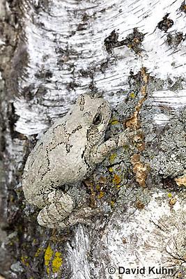 0202-0909  Eastern Gray Treefrog on White Bark (Grey Tree Frog), Hyla versicolor  © David Kuhn/Dwight Kuhn Photography