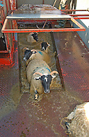 Scottish Blackface ewes leaving a mobile dip, Whitewell, Lancashire.
