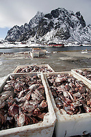 Fish  reception centre. Cod fishing is a traditional practice in Lofoten, home to around 24,500 people and and an area where locals have been producing Stockfish for over 1000 years. Lofoten is where the World's largest and last cod stocks are found, in the Barent's Sea. Fishing is as strong an industry as tourism in this region.