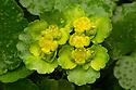 Alternate-leaved Golden Saxifrage {Chrysosplenium alternifolium}. Peak District National Park, Derbyshire, UK. March.