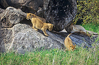 Female african lion resting on rock outcropping (Kopje) while three lion cubs play nearby, Serengeti National Park. Tanzania.  Lions like to rest on kopjes as it gives them a commanding view across the grasslands of possible prey and any potential threats.  Also, the kopjes can be a good source of shade on a warm day in a flat landscape.