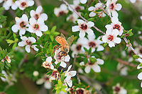 A bee collecting pollen from Manuka flowers.<br /> The first European colonists in New Zealand used Manuka leaves as a substitute for tea. Captain Cook used Manuka to fight scurvy during his long explorations of the southern hemisphere. What's more, he warned about its emetic properties in the case of a strong concentration or over ingestion.