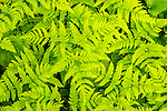 Fractal image of fern leaves