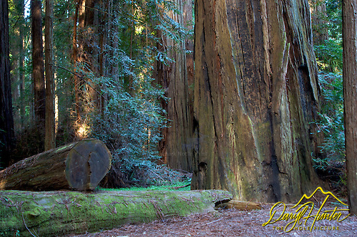 Rewood Grove, Avenue of the Giants, Phillipsville California
