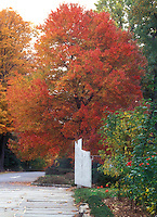 Fall color of Red maple tree, with garden fence, street, roses, showing entire tree in autumn glory of red and orange yellow