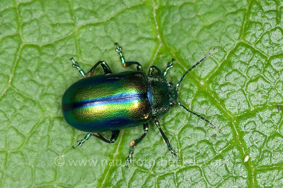 Blattkäfer, Oreina spec., Leafbeetle, Chrysomelidae, Leafbeetles